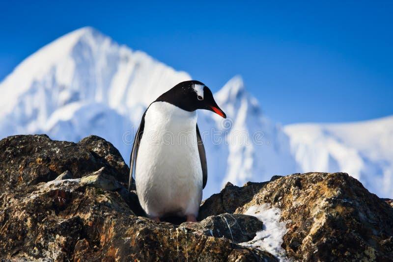 Pinguino sulle rocce immagine stock