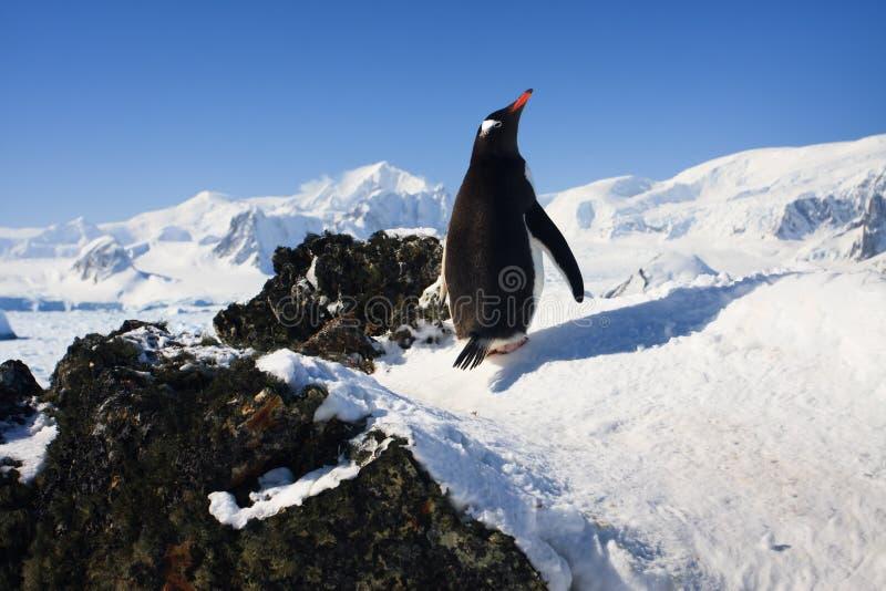 Pinguino sulle rocce fotografia stock libera da diritti
