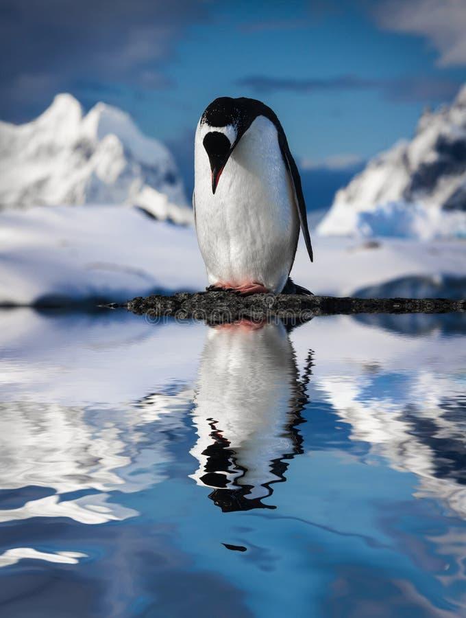 Pinguino sulle rocce immagini stock