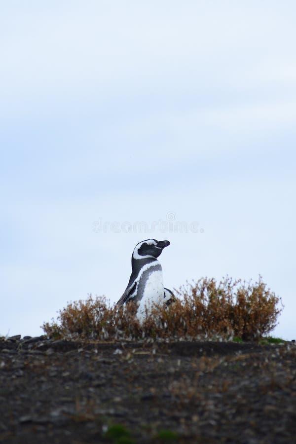 Download Pinguino in un nido fotografia stock. Immagine di polare - 30827416