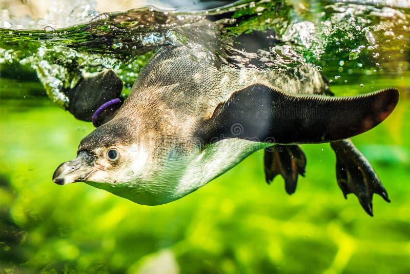 Pinguino in uno stagno immagine stock libera da diritti