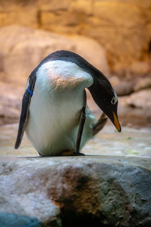 Pinguino in uno zoo fotografia stock