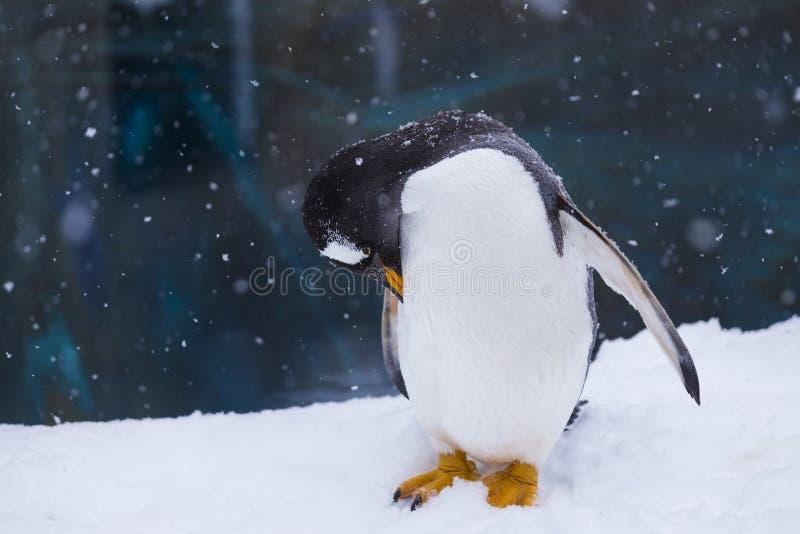 Pinguino in uno zoo che sta nello scratch egli stesso della neve immagine stock libera da diritti