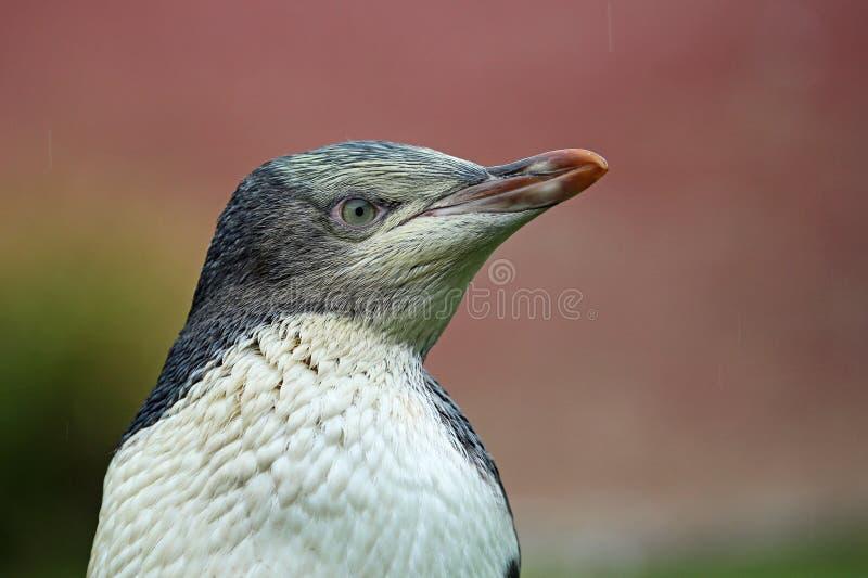 Pinguinporträt - Gelb gemusterter Pinguin stockbilder