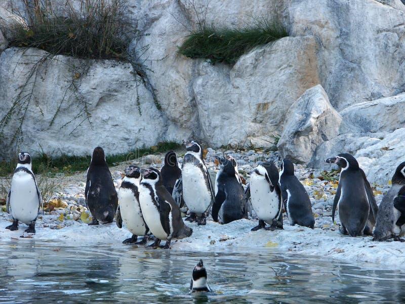 Download Pinguins imagem de stock. Imagem de azul, pinguins, pinguim - 540191