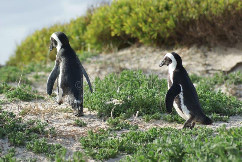 Pinguins lizenzfreie stockbilder