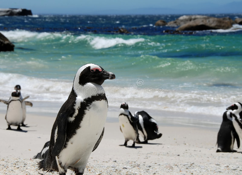 Pinguins africanos imagens de stock royalty free