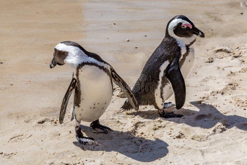 Pinguins africanos na cidade de Simon, África do Sul imagens de stock royalty free