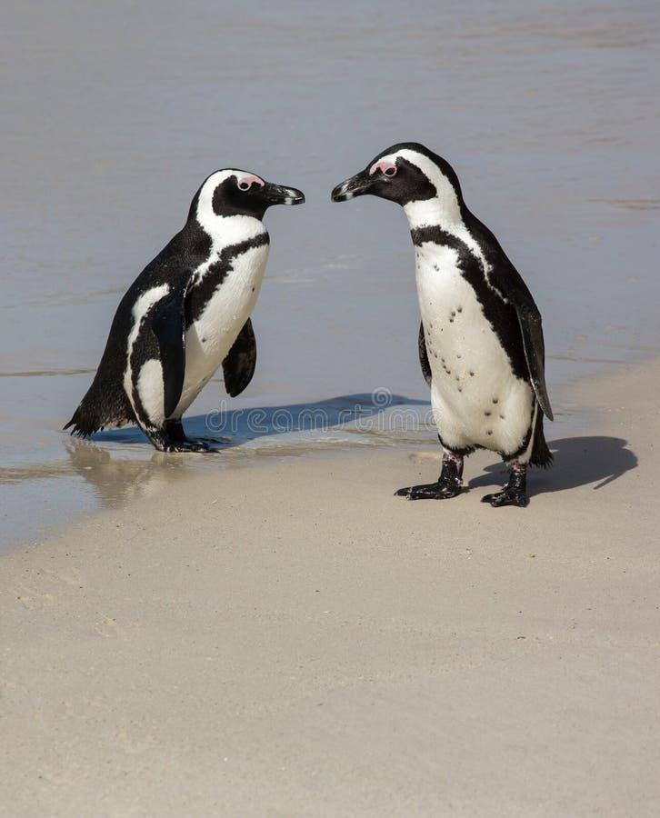 Pinguins africanos na costa de mar imagens de stock royalty free