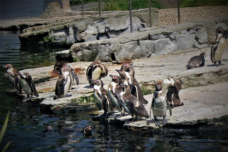 Pinguins in Chester Zoo, in het UK stock fotografie