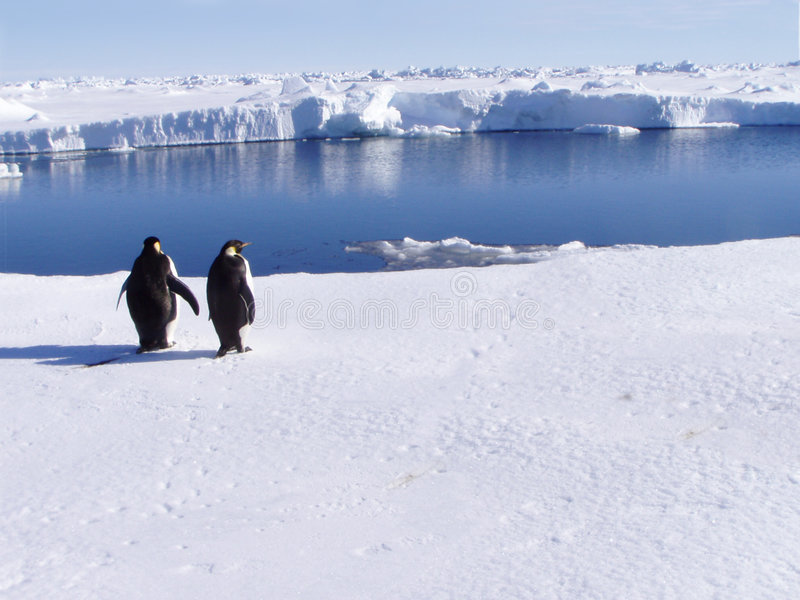 Pinguins com uma vista fotografia de stock royalty free