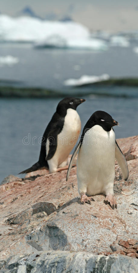 Pinguins de Adelie foto de stock royalty free