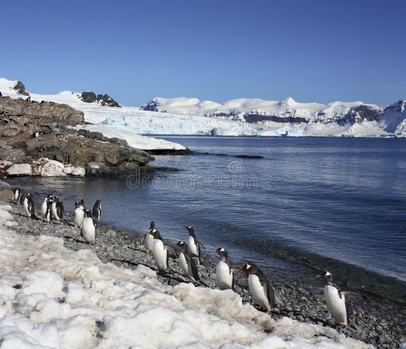 Pinguins de Continente antárctico - de Gentoo fotografia de stock royalty free