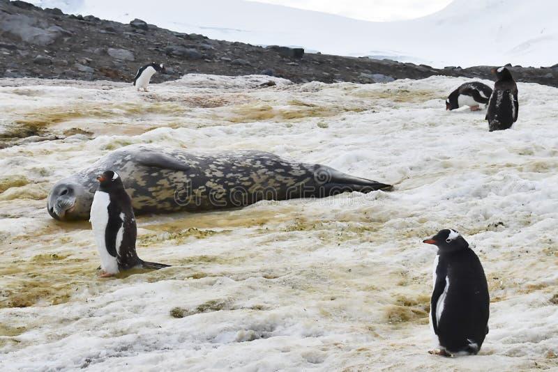 Pinguins de Gentu na Antártica durante a estação na muda com um selo do leopardo foto de stock