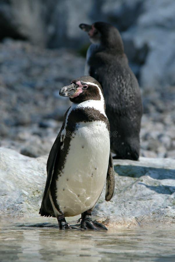 Pinguins de Humboldt foto de stock royalty free