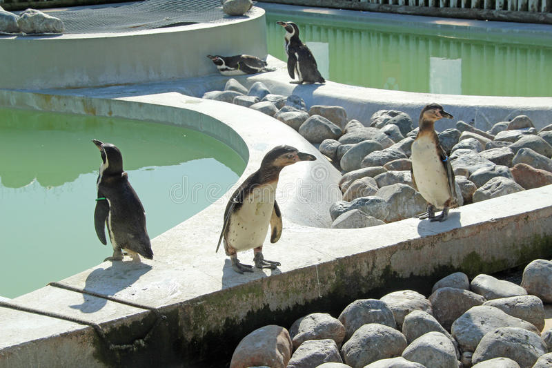Pinguins de Humboldts imagem de stock