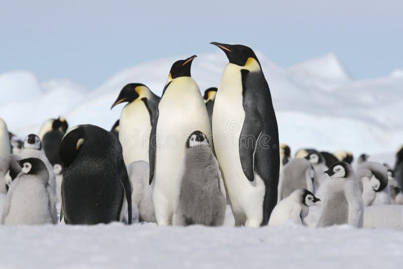 Pinguins de imperador fotografia de stock