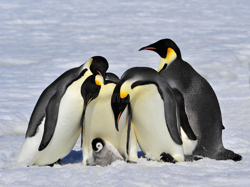 Pinguins de imperador com pintainho foto de stock