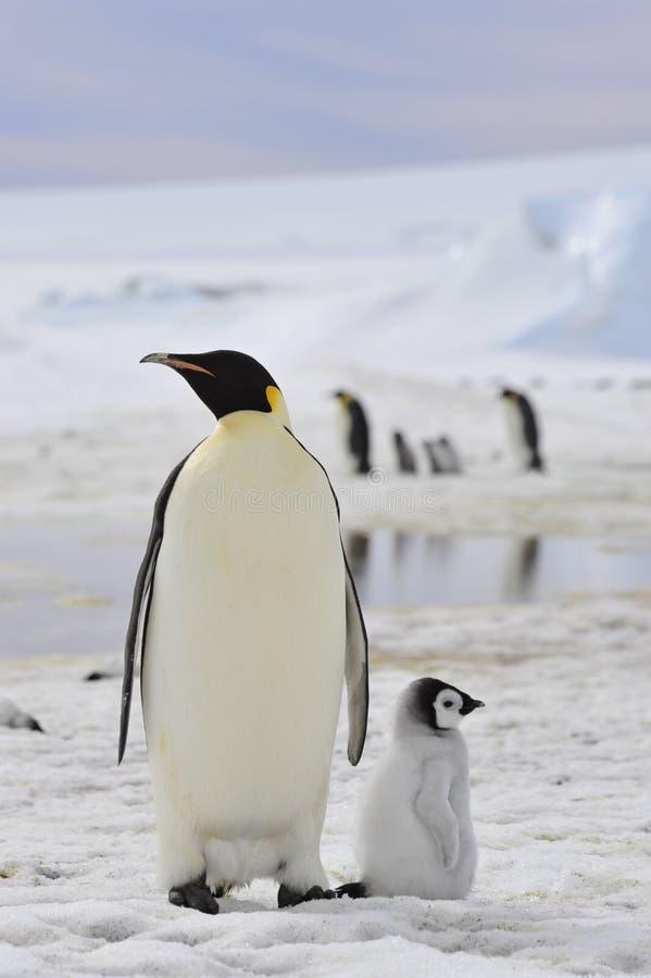 Pinguins de imperador com pintainho imagem de stock royalty free