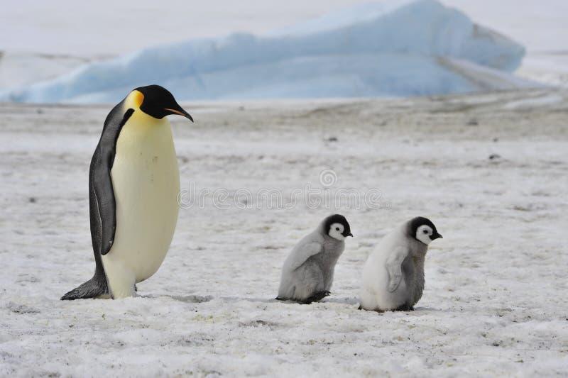 Pinguins de imperador com pintainho imagens de stock