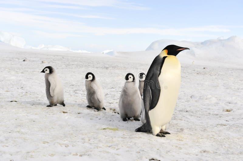 Pinguins de imperador com pintainhos imagens de stock royalty free