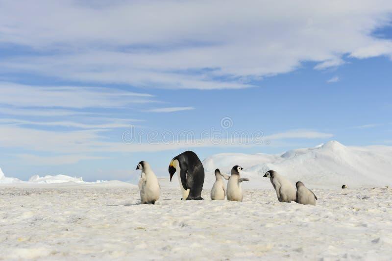 Pinguins de imperador com pintainhos fotografia de stock royalty free