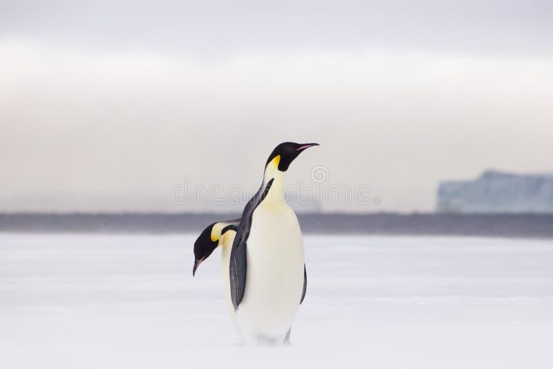 Pinguins de imperador no gelo marinho fotos de stock