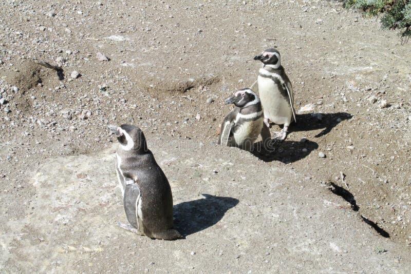 Pinguins de Magellan fotos de stock royalty free