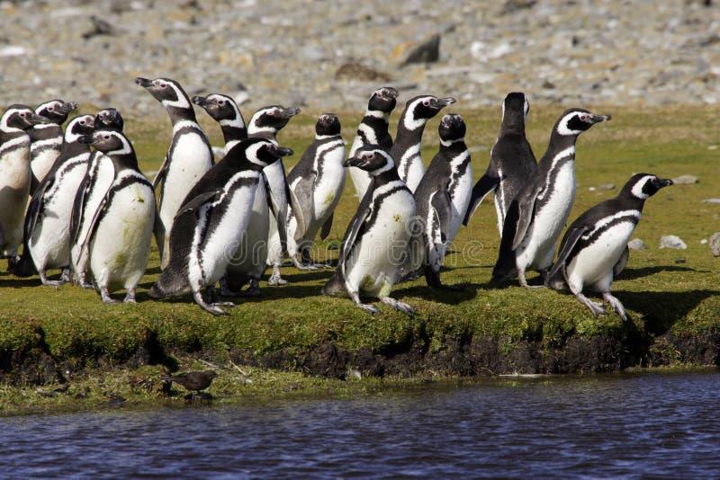Pinguins de Magellanic imagem de stock royalty free