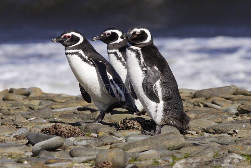 Pinguins de Magellanic fotografia de stock