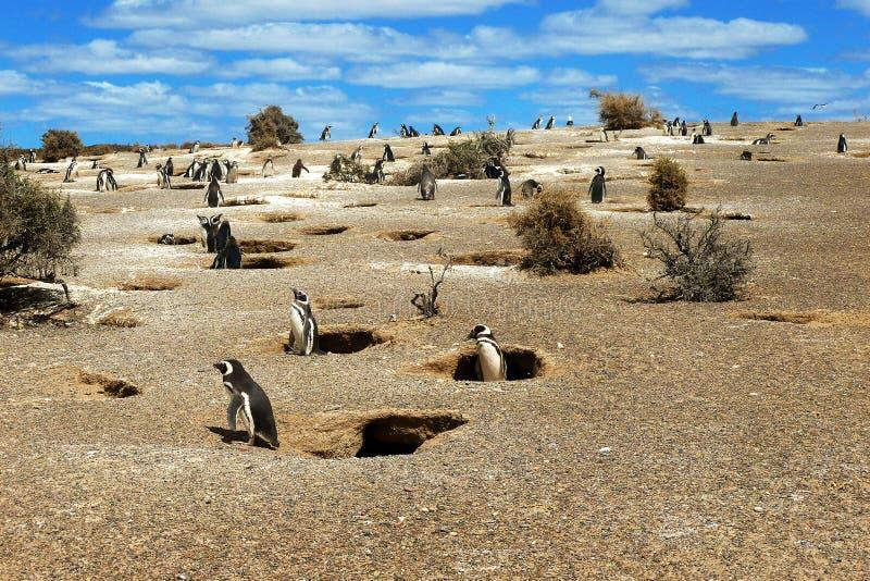 Pinguins de Magellanic fotografia de stock royalty free