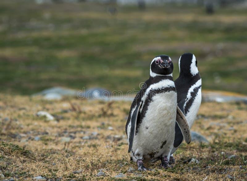 Pinguins de Magellanic, Magdalena Island, o Chile imagens de stock royalty free