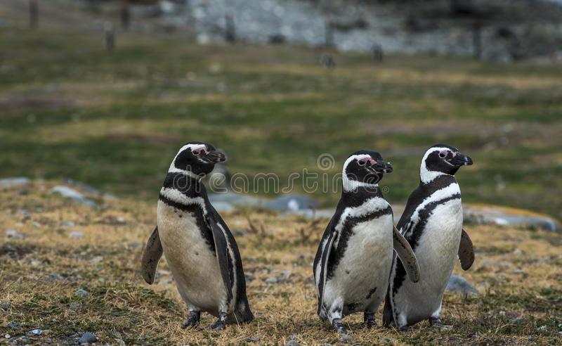 Pinguins de Magellanic, Magdalena Island, o Chile fotografia de stock