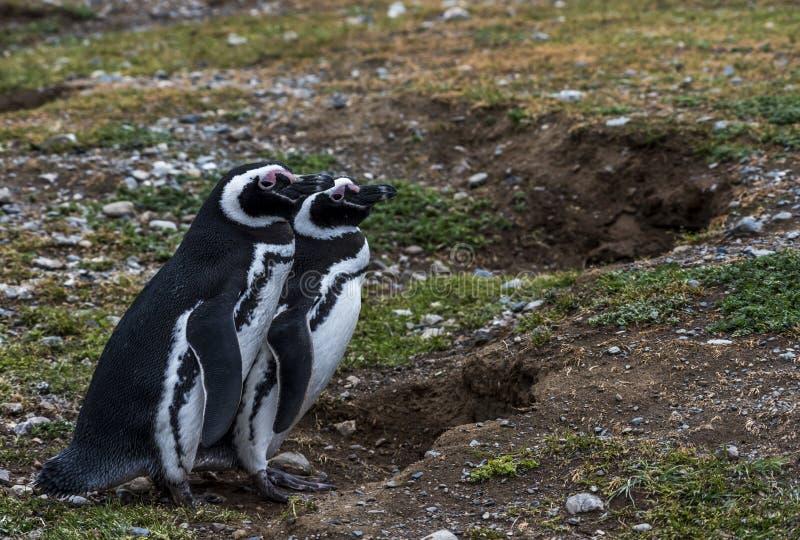 Pinguins de Magellanic, Magdalena Island, o Chile imagem de stock royalty free
