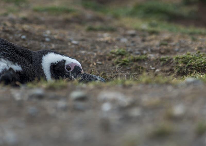 Pinguins de Magellanic, Magdalena Island, o Chile imagem de stock