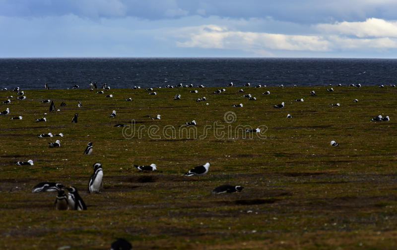 Pinguins de Magellanic, Magdalena Island, o Chile fotos de stock royalty free