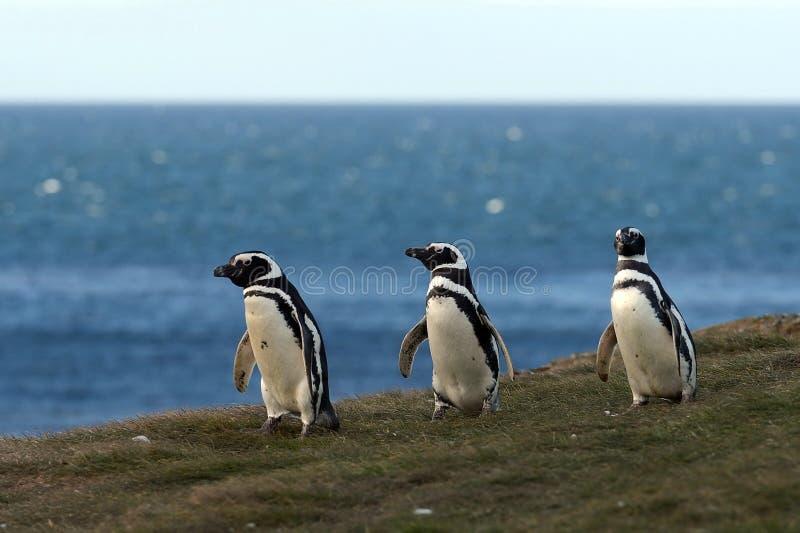 Pinguins de Magellanic (magellanicus do Spheniscus) no santuário do pinguim em Magdalena Island fotos de stock