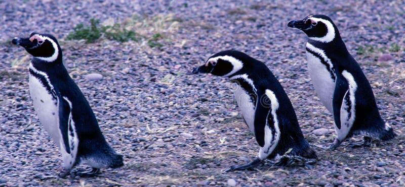 Pinguins de Magellanic na península Valdes - Argentina fotos de stock royalty free