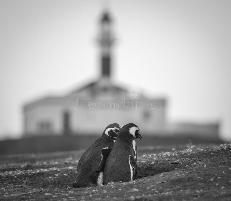 Pinguins de Magellanic no Chile do sul imagem de stock