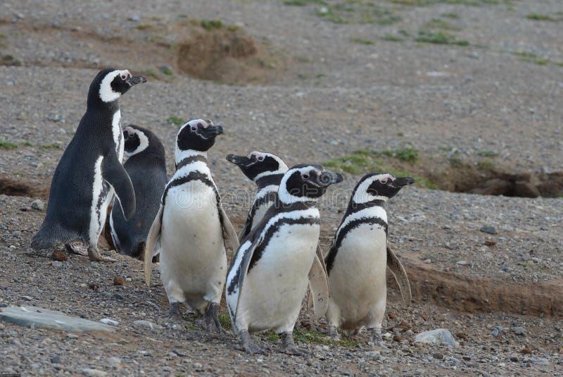 Pinguins de Magellanic no santuário do pinguim em Magdalena Island no passo de Magellan perto de Punta AR foto de stock