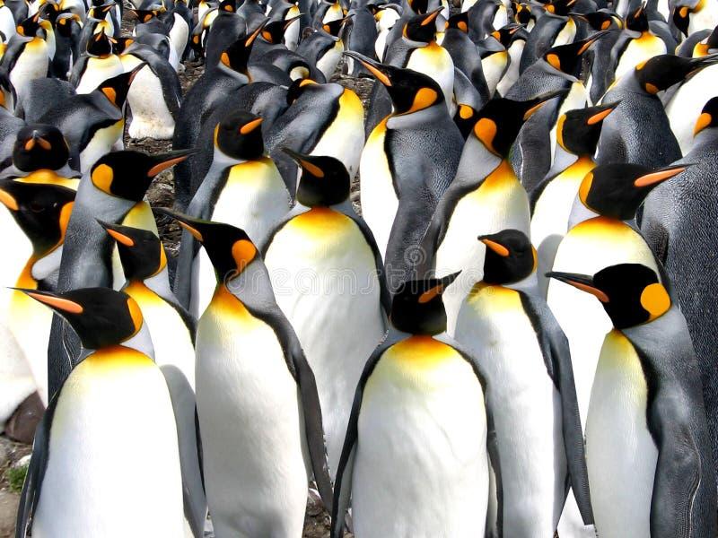 Pinguins de rei fotos de stock