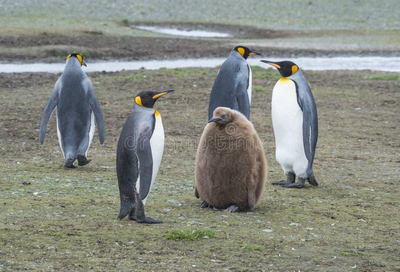 Pinguins de rei com pintainho fotografia de stock royalty free