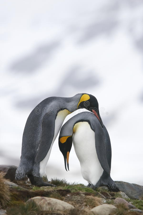 Pinguins de rei no amor imagem de stock