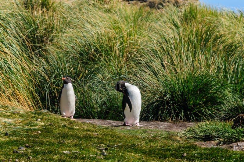 Pinguins de Rockhopper na ilha de Westpoint imagem de stock royalty free