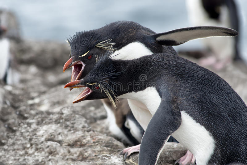 Pinguins de Rockhopper que lutam sobre o território, Falkland Islands foto de stock royalty free