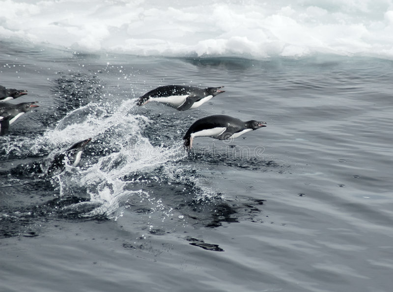 Pinguins de salto