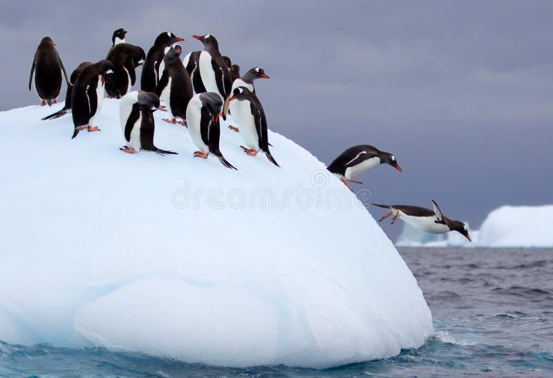 Pinguins de salto de Gentoo imagem de stock