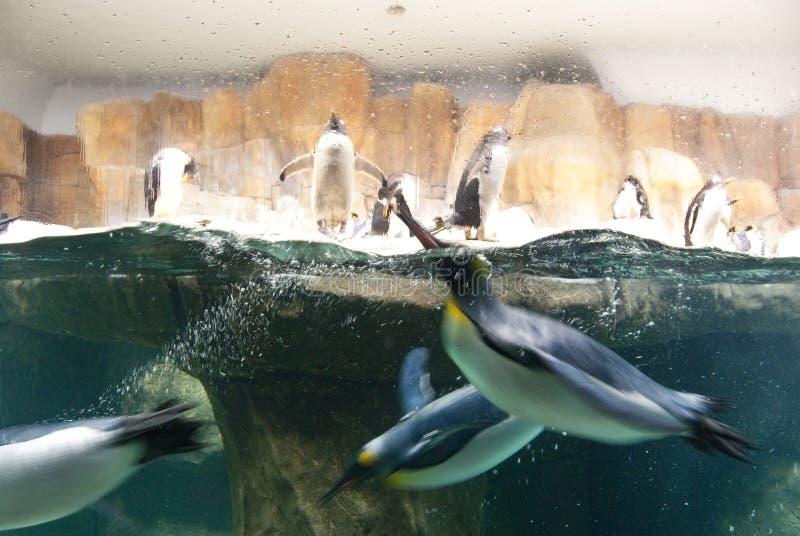 Pinguins do jardim zoológico de Omaha fotos de stock