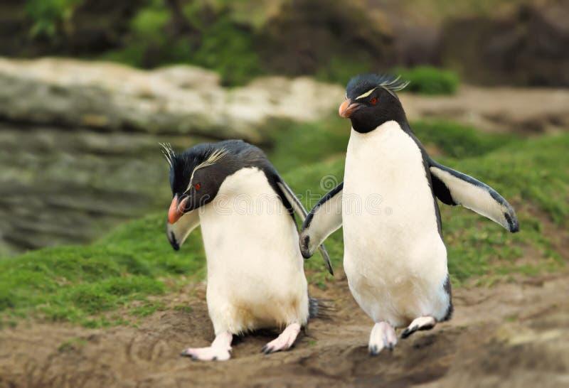 Pinguins do sul do rockhopper, Falkland Islands imagem de stock royalty free