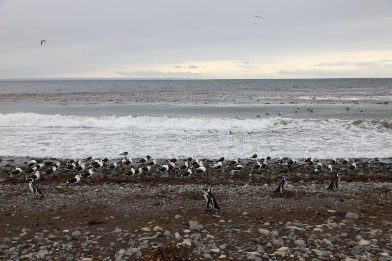 Pinguins e gaivotas imagens de stock royalty free